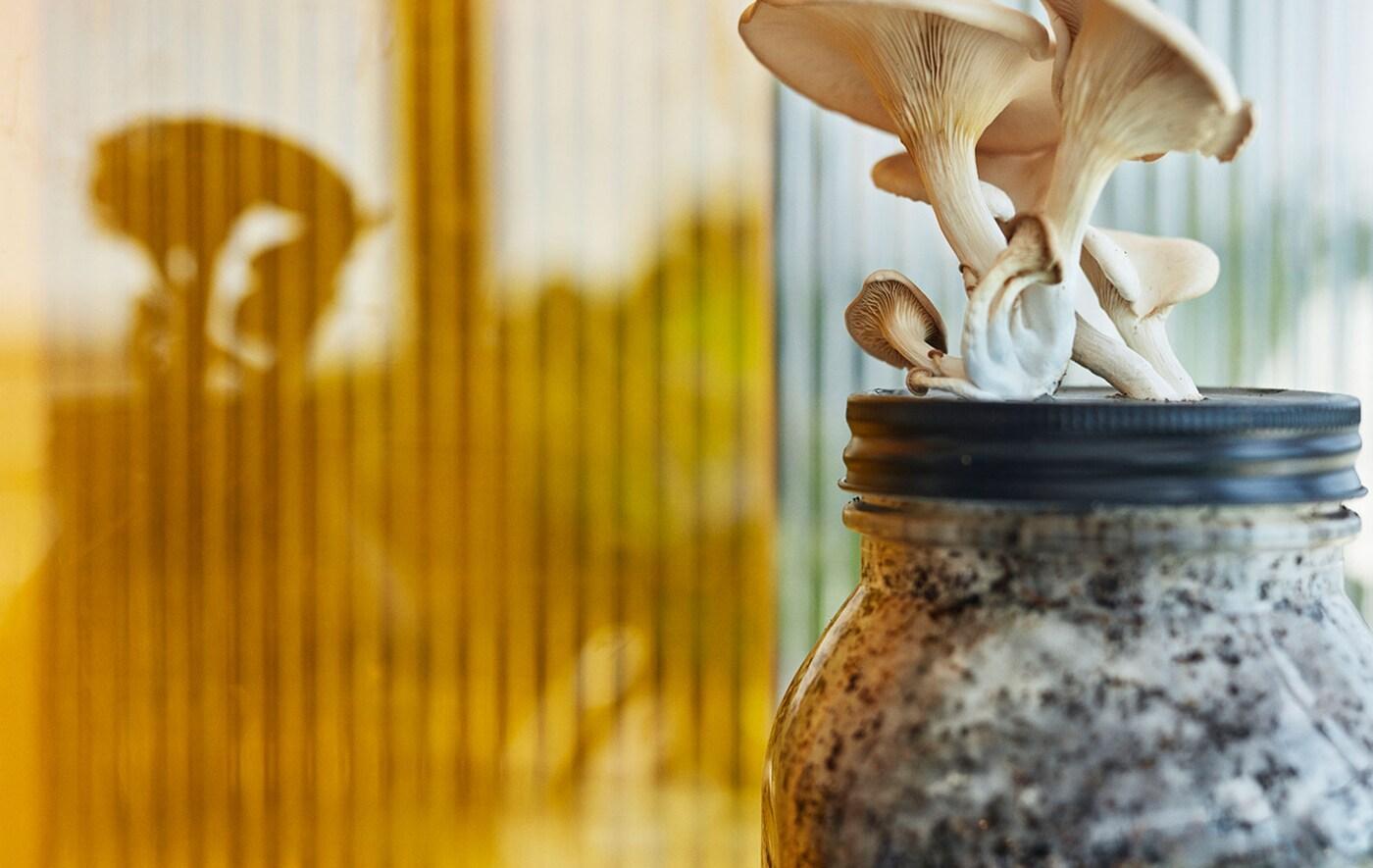 مجموعة من الفطر تتبرعم من خلال غطاء مرطبان زجاجي مملوءة إلى الحافة بغصينات الفطر وبقايا القهوة.