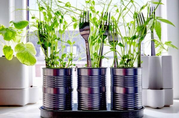 Możesz zasadzić suszony groch, który wyrośnie bardzo szybko. My włożyliśmy go do puszek i użyliśmy widelców, aby mógł rosnąć prosto