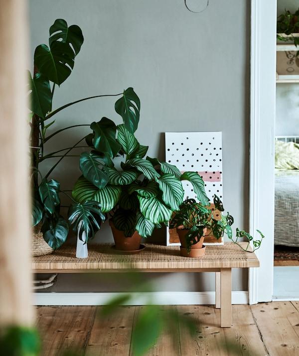 مقعد من الخشب والروطان عليه مجموعة من النباتات المنزلية في أواني، تتضمن الكالاتيا والمونستيرة.