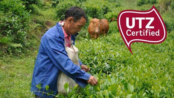 Muž pěstující čajové lístky způsobem, které pomáhá chránit biologickou rozmanitost a udržovat zdraví půdy.