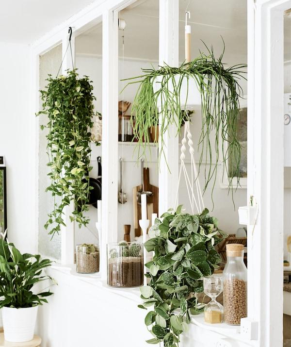 مزيج من النباتات المعلقة والنباتات في أواني في إطار نافذة فارغ بين غرفتين بلون أبيض.