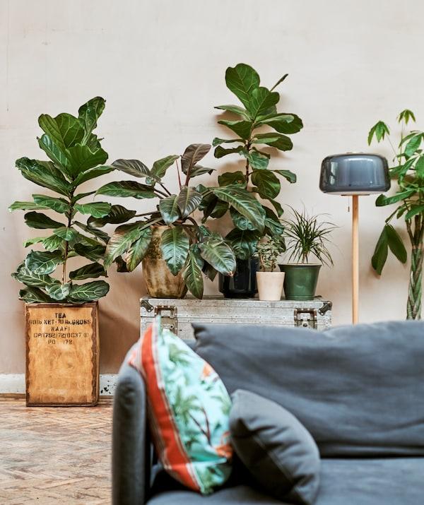 Nagy növény, egy tealádában, állólámpa, egy kék kanapé mögött.