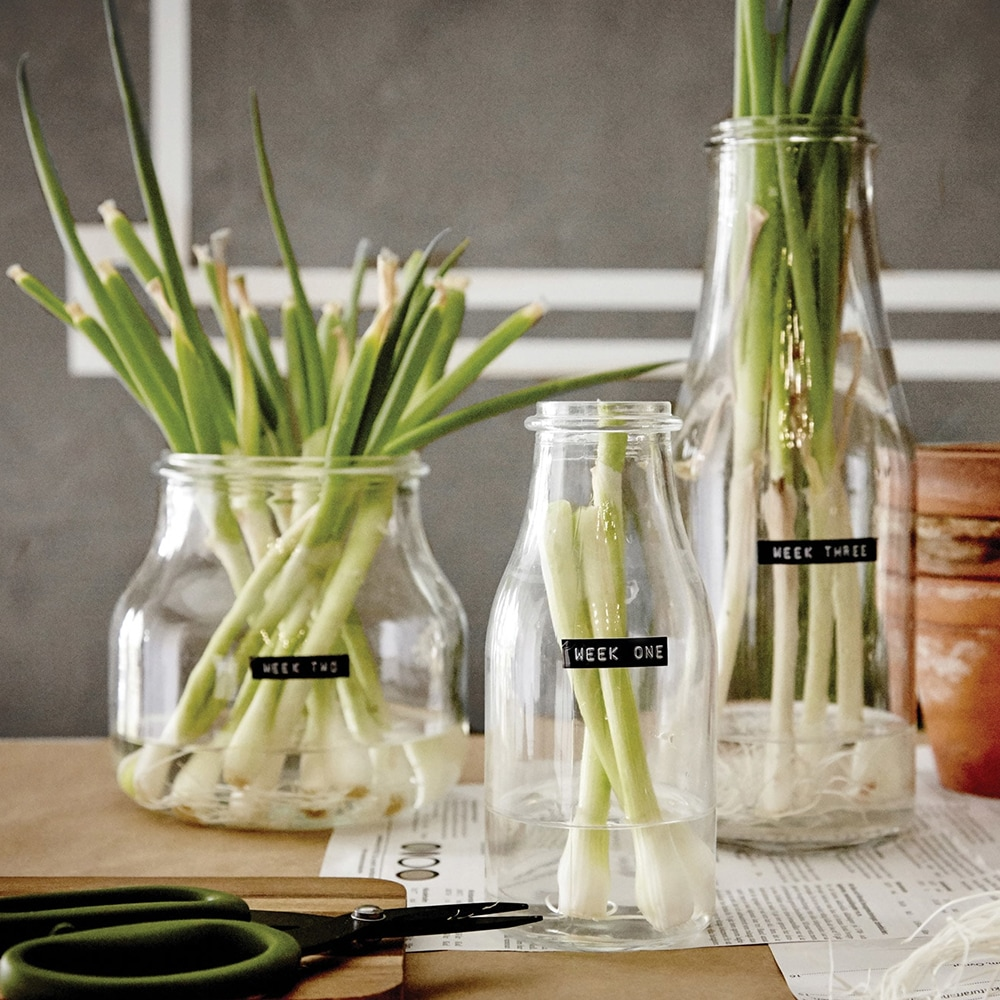Old jars being reused to propagate green onions, lettuce and celery