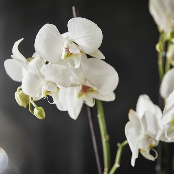 Orchideen zum Family Preis