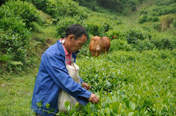 Organic tea farming helps preserving biodiversity, and maintaining soil health.