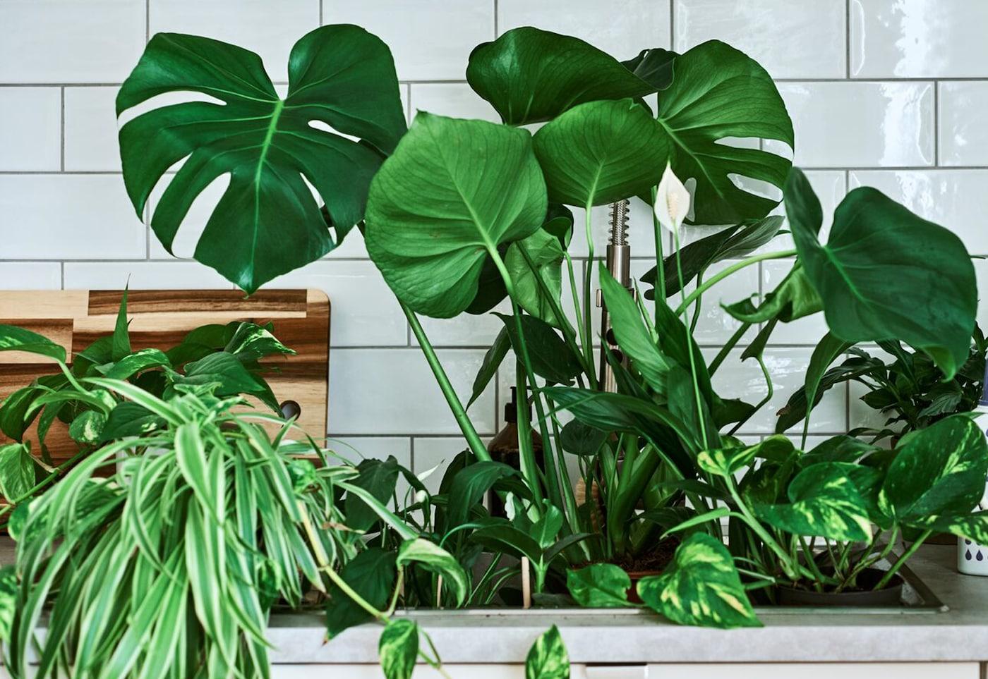 Plantas de interior, incluindo uma costela-de-adão (Monstera) e um lírio-da-paz, num lava-loiça com um regador com a pega em dourado e uma embalagem de fertilizante em cima da bancada.
