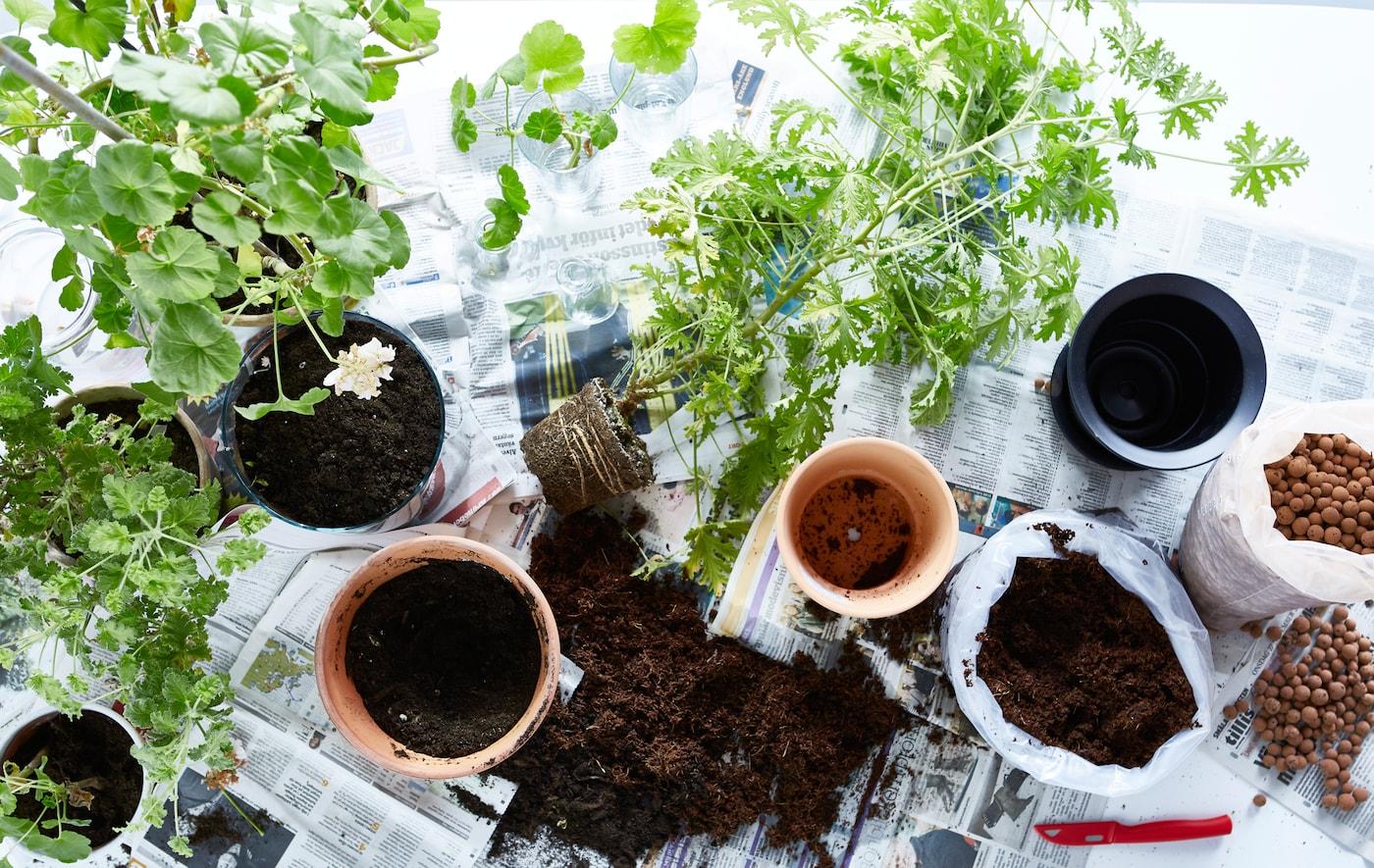 Plantes posées sur du papier journal, prêtes à être rempotées, vues d'en haut.