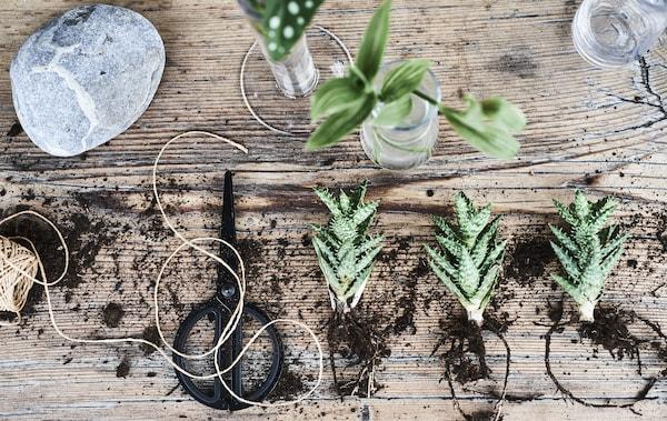 Plantes, terre, ficelle et ciseaux sur un banc en bois.