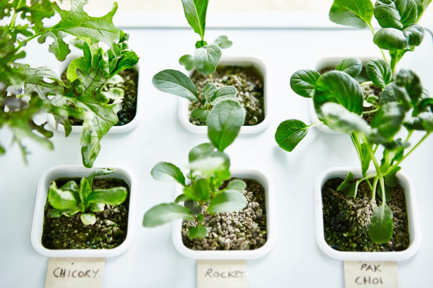 Plantor som växer i en odlingsenhet för hydroponisk odling.