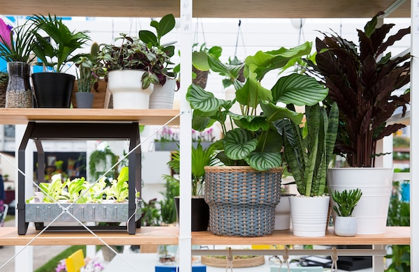 Plants lining the shelves of a white and bamboo shelving unit
