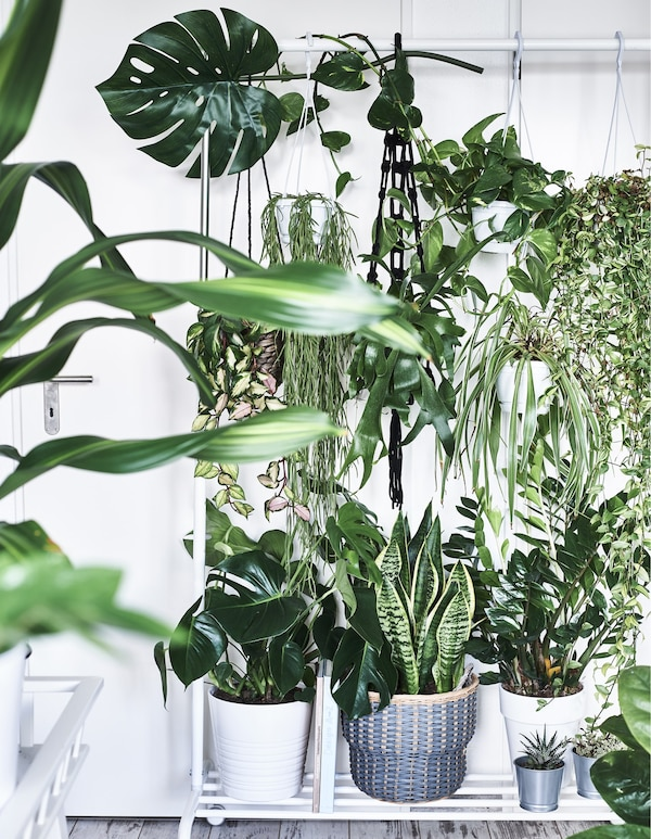 Pot plants on a plant stand and growing in hanging planters.