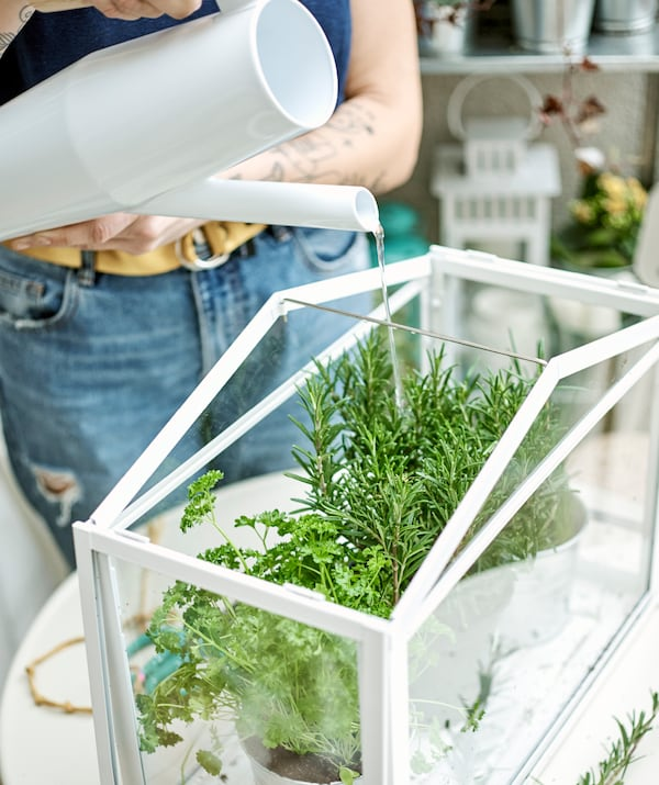 Potted herbs in a mini greenhouse are watered by a woman in jeans with tattooed arms using a white watering can.