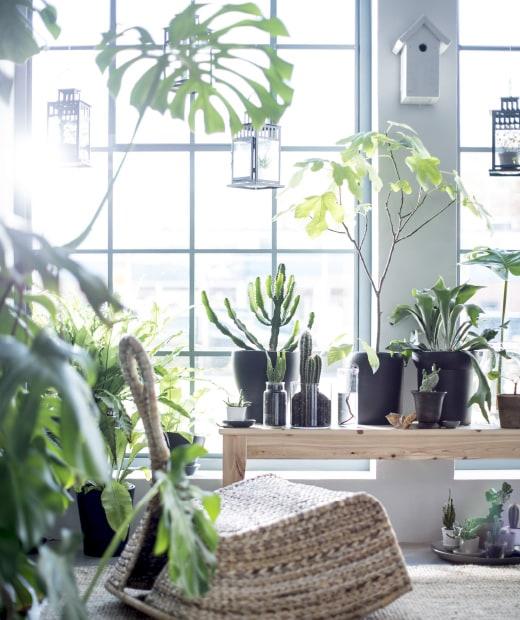 Przed dużym oknem umieszczono mnóstwo roślin, aby stworzyć relaksującą przestrzeń z ławką i krzesłem bujanym IKEA PS GULLHOLMEN.
