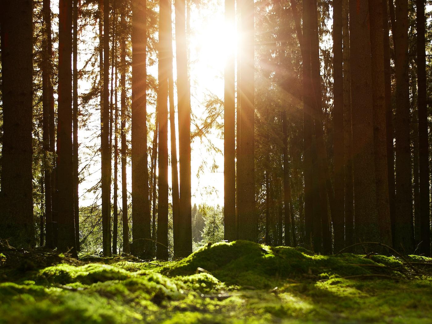 Skog med mosebunn der solen skinner gjennom tette trær