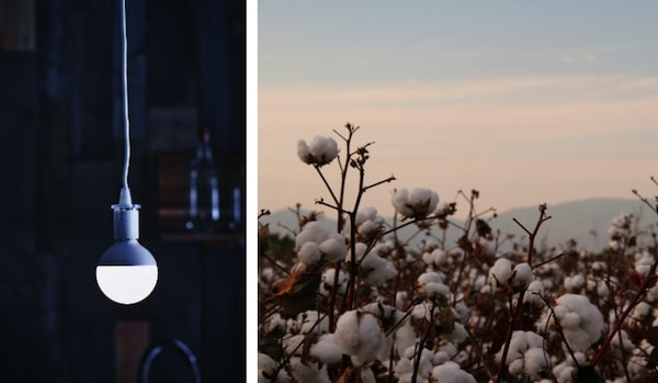 Split image of a hanging LED light bulb in a dark room, and a field of cotton with a light sky background.