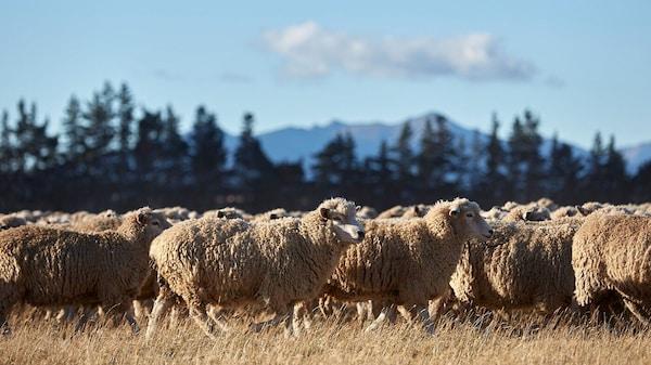 Stádo ovcí na pastvině před lesem a horami.