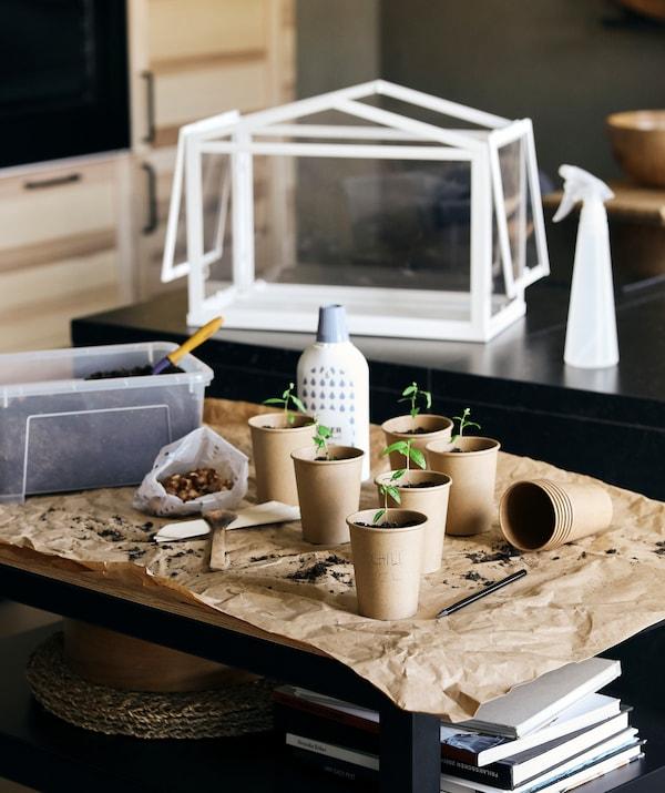 Station de jardinage dans une cuisine: de jeunes pousses dans des tasses en carton avec un pulvérisateur TOMAT et une miniserre SOCKER à l'arrière.