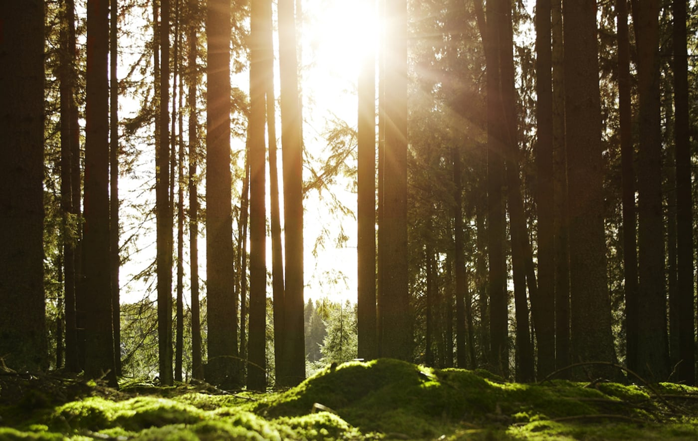 Sunlight breaking through trees in a pine forest.