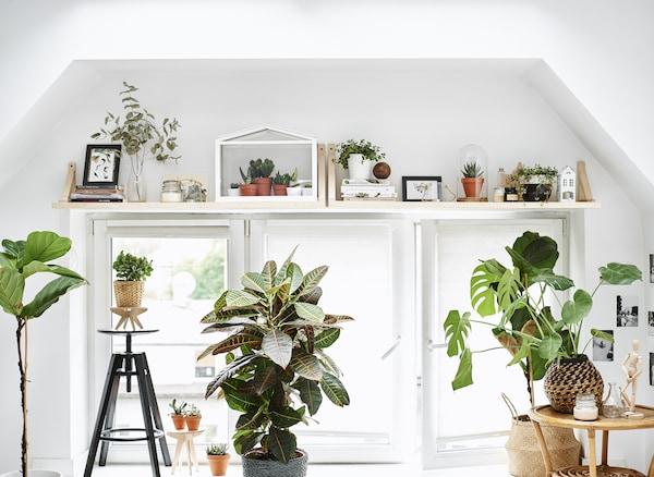 Suuri ikkuna, hyllyt ja kasvit.
