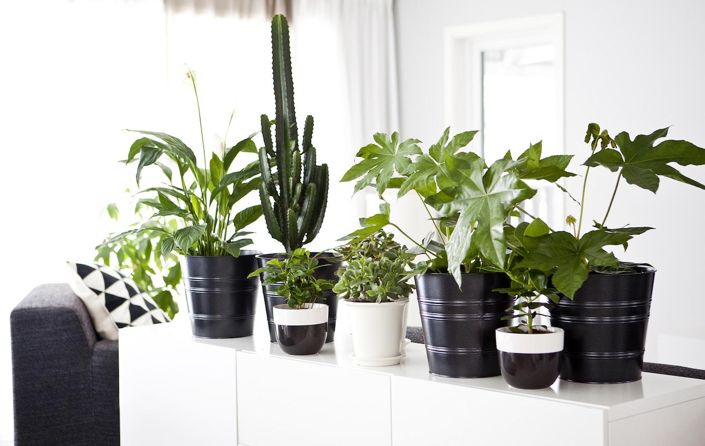 たくさんの緑の植物の鉢植えでデコレーションされた白いサイドボードのある、モノクロームのインテリア。