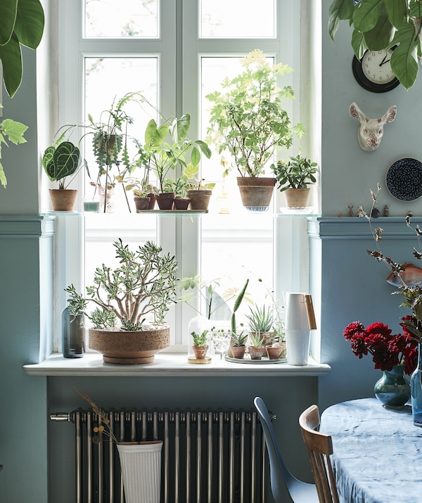 The kitchen window filled with greenhouse plants.