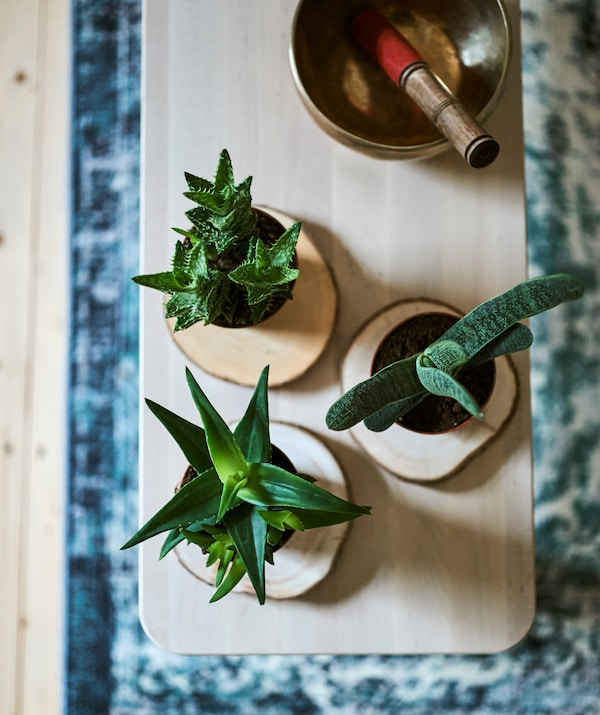Three small potted succulent plants on timber coasters next to a brass singing bowl on a wood bench on a blue Oriental rug.