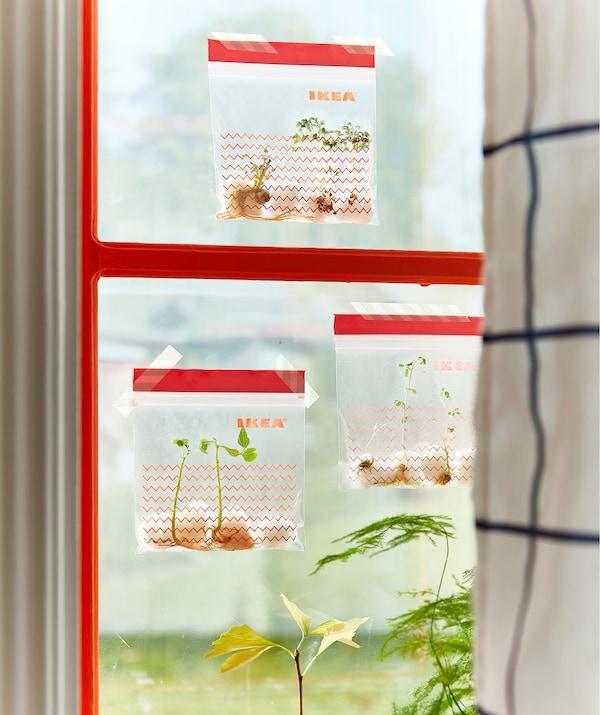 Tres bolsas de plástico ISTAD con estampados decorativos pegadas con adhesivo en una ventana llenas de semilleros con brotes.