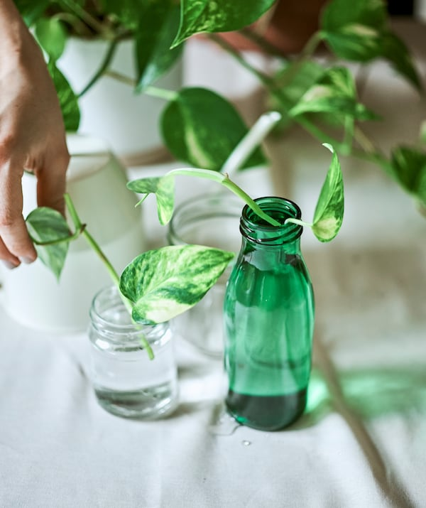 Two Epipremnum plant cuttings set in water in clear and green glass jars, next to the mother plant and a watering can.
