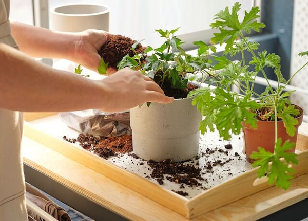 Two hands planting a geranium in a grey pot using a tray to protect the table from dirt. The sun shines through the window.
