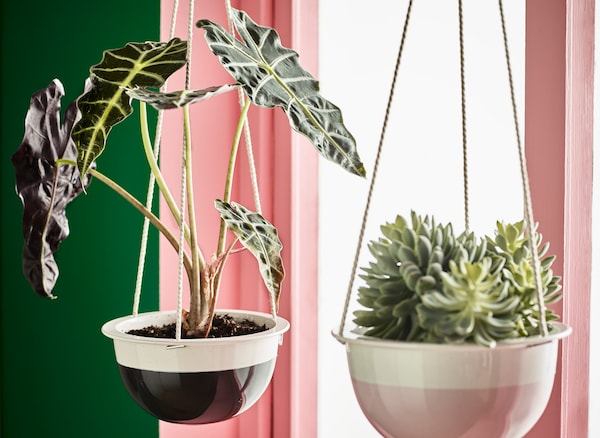 Two indoor potted plants growing in hanging planters.