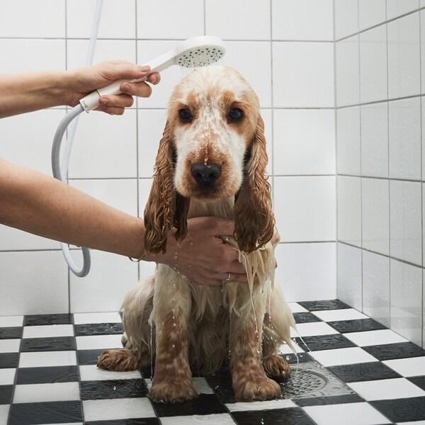Un chien perplexe toiletté à l'aide d'une douchette tenue à la main.