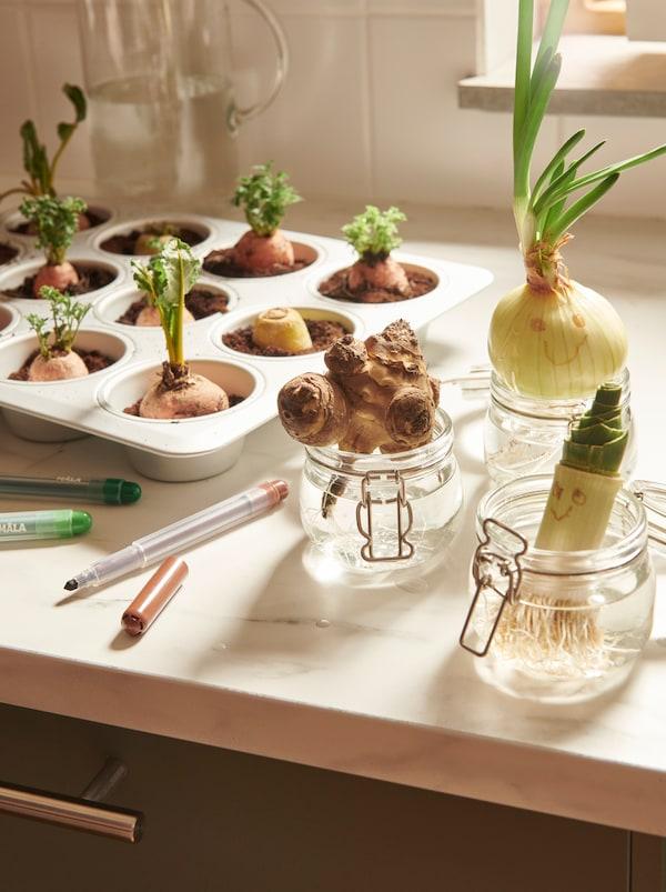 Un plan de travail dans une cuisine avec des pousses de légumes: certaines dans un moule à cakes VARDAGEN, d'autres dans de l'eau dans des bocaux KORKEN.