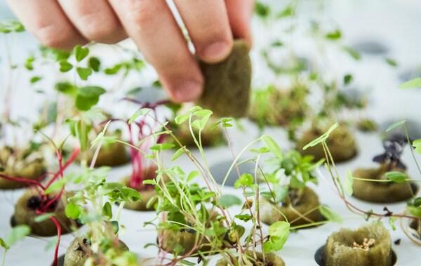 Une personne plantant des jeunes pousses sur un plateau