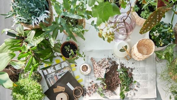 Une table préparée pour l'empotage de plantes, beaucoup de plantes en pot, le catalogue IKEA, et de la terre sur du papier journal.