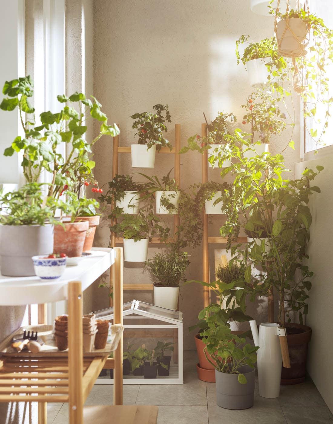 Valkoisen parvekkeen nurkassa on paljon viherkasveja kukkahyllyillä ja kukkapöydillä.