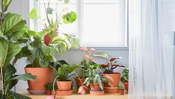 Varias plantas verdes en testos de diferentes tamaños diante dunha ventá con cortinas rede.