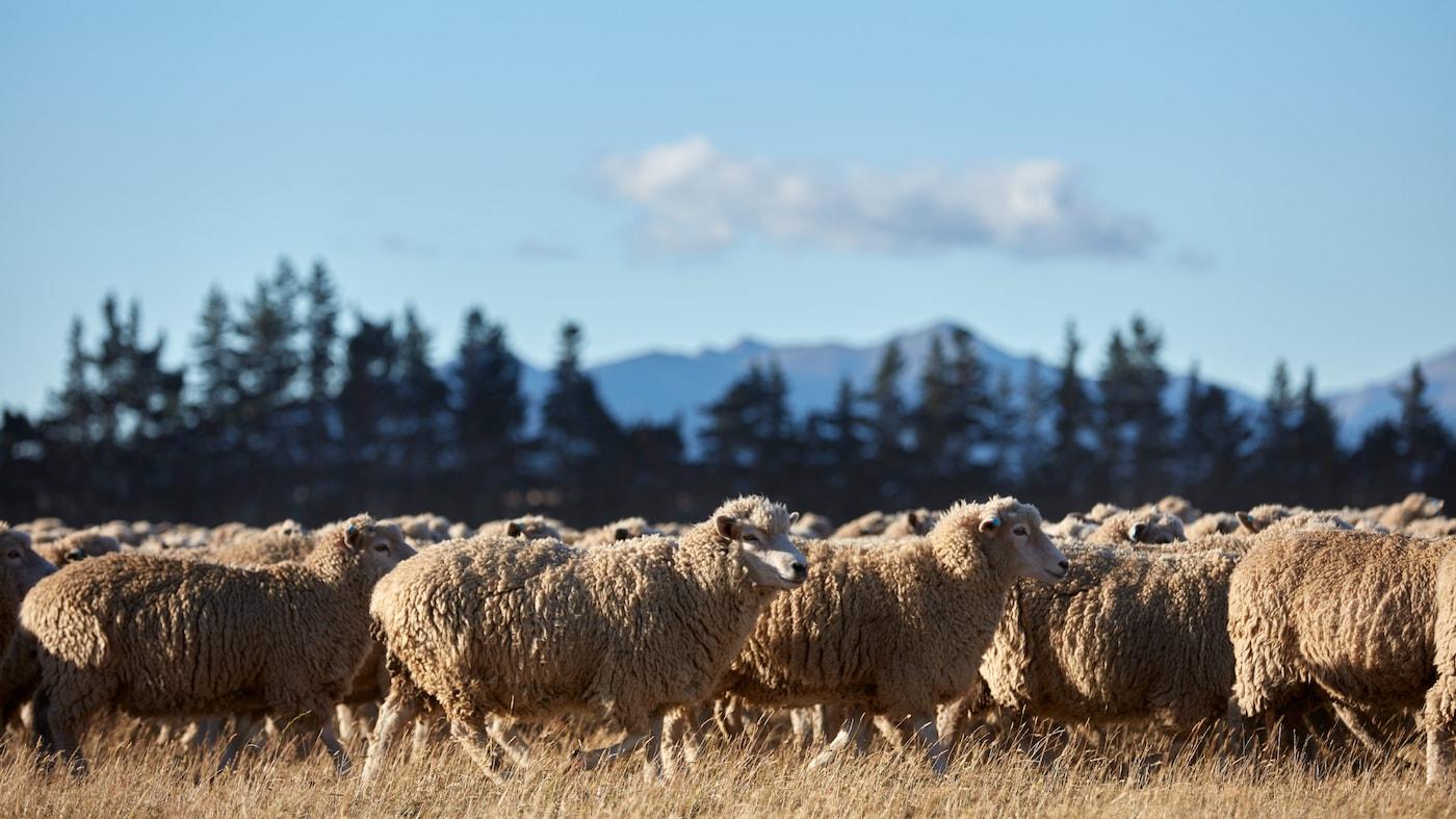 Villatehdas käynnissä: sadat lampaat laiduntavat auringonvalossa tuottaen samalla villaa IKEA-mattoja varten.