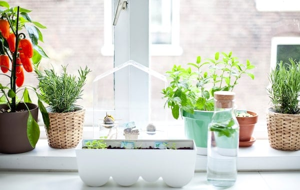 Window sill garden with herbs, plants and mini greenhouse