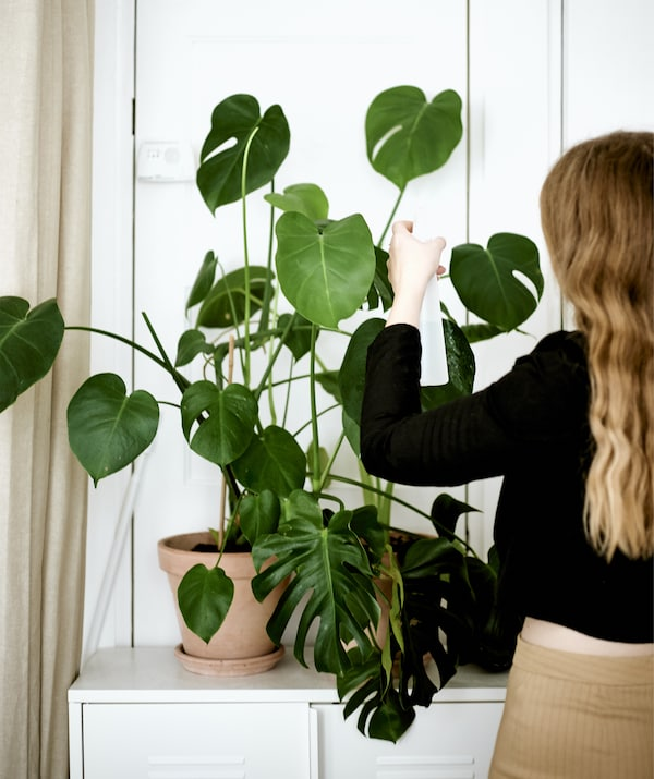 Yvet تقوم بسقي إناء نباتات كبير في غرفة بيضاء.