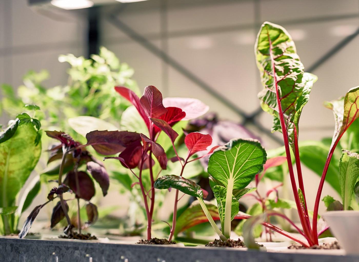 Zeleně a červeně zbarvené bylinky a salát rostou v hydroponickém systému.