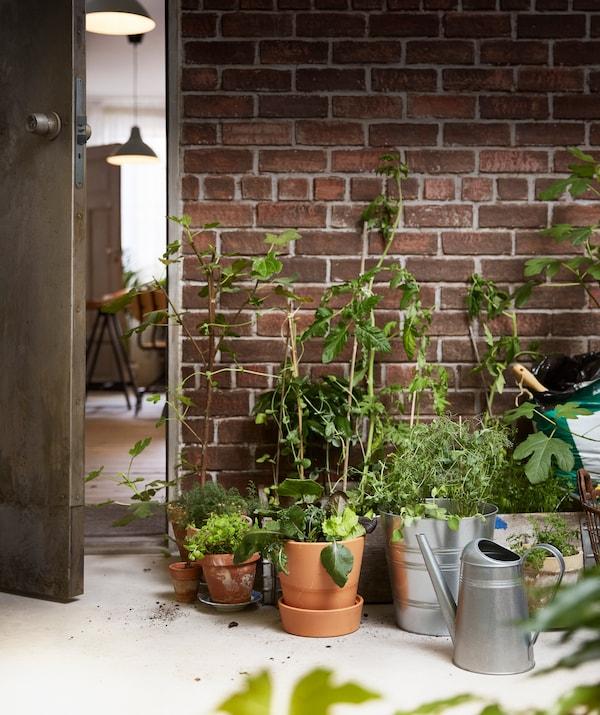 Ziehe die Setzlinge zuerst drinnen, bevor du sie umtopfst und nach draußen stellst, wenn sie etwas gewachsen sind. Fürs Umtopfen empfehlen wir z. B. den verzinkten IKEA SOCKER Übertopf für drinnen und draußen.