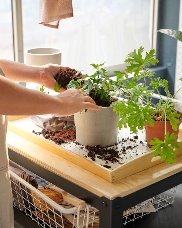 زوج من الأيدي منهمكة في وضع نبات في وعاء NYPON، يعمل على صينية فوق عربة BROR موضوعة في شرفة.