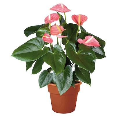 ANTHURIUM Potted plant, Flamingo plant pink, 15 cm