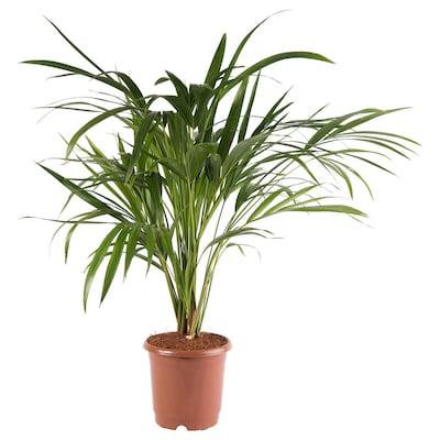 CHRYSALIDOCARPUS LUTESCENS Potted plant, Areca palm, 15 cm