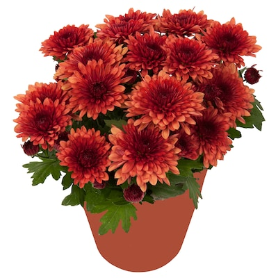 CHRYSANTHEMUM Potted plant, Chrysanthemums assorted colours, 12 cm