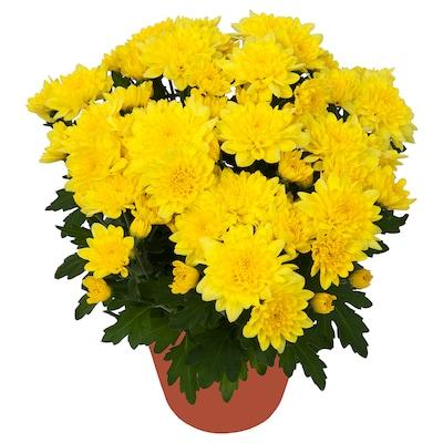 CHRYSANTHEMUM Potted plant, Chrysanthemums yellow, 12 cm