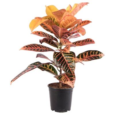 CODIAEUM Potted plant, Croton, 12 cm