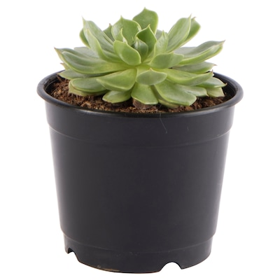 ECHEVERIA Potted plant, 9 cm