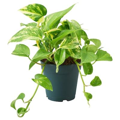 EPIPREMNUM Potted plant, Golden Pothos, 9 cm