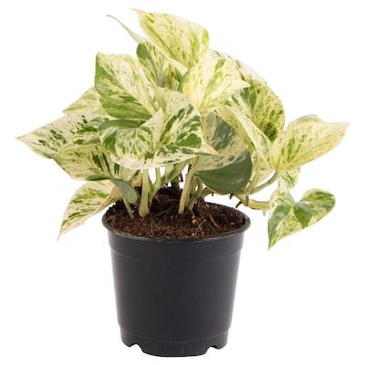 EPIPREMNUM Potted plant, Silver vine, 9 cm